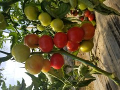 tomates grappe 3A